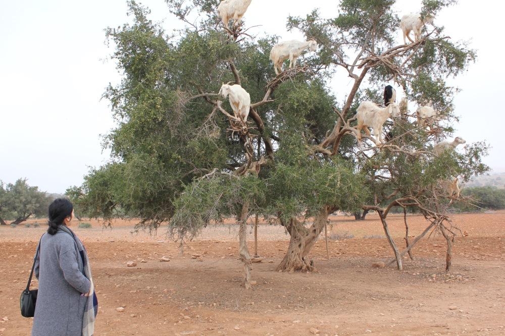 Argan ağacı, keçiler ve ben